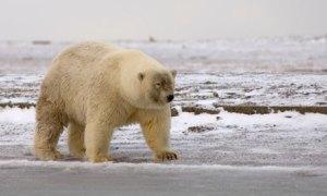 Is this a polar or hybrid bear?