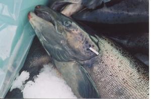 Salmon with opercular tag