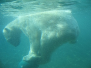 Polar bear. By Carol Moshier. Flickr. CC-BY-NC-2.0.